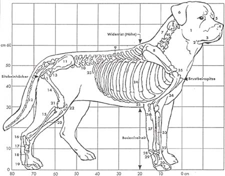 Rottweilerin rakenne